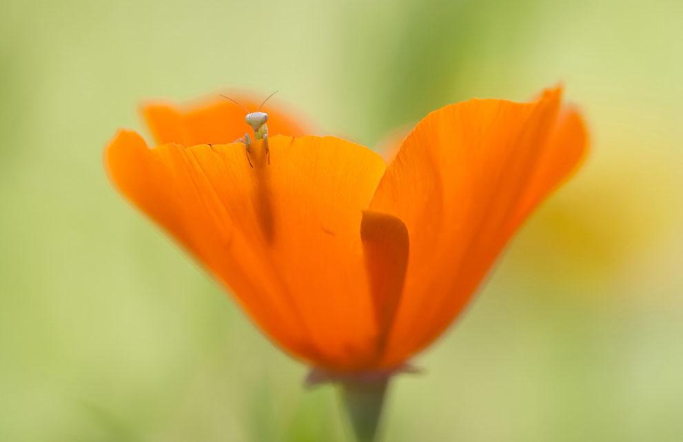 Tiny mantis larva peeks over the edge of an orange poppy flower