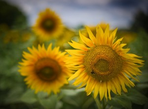 Sunflowers by Stuck in Customs on Flickr