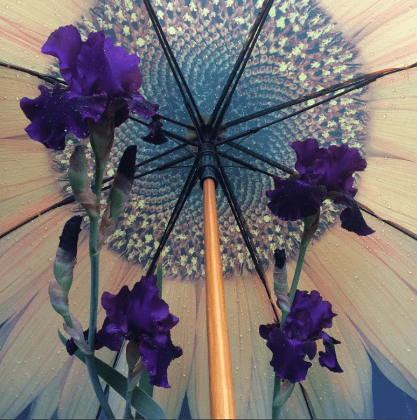 Purple iris in front of a sunflower umbrella