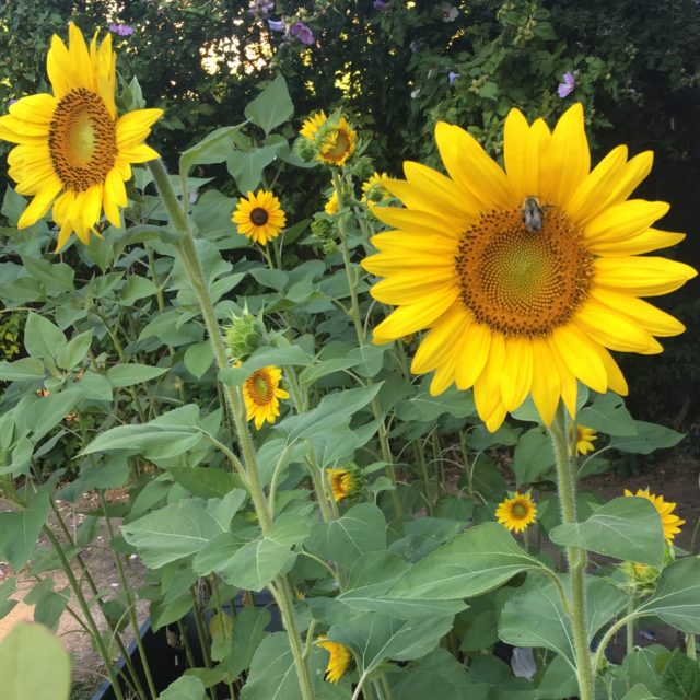 Sunflowers with a bee