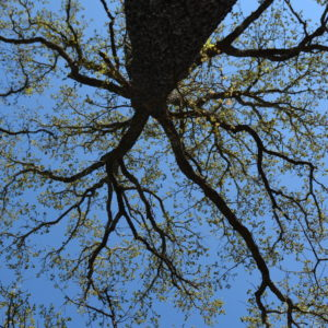 Oak tree leaves budding