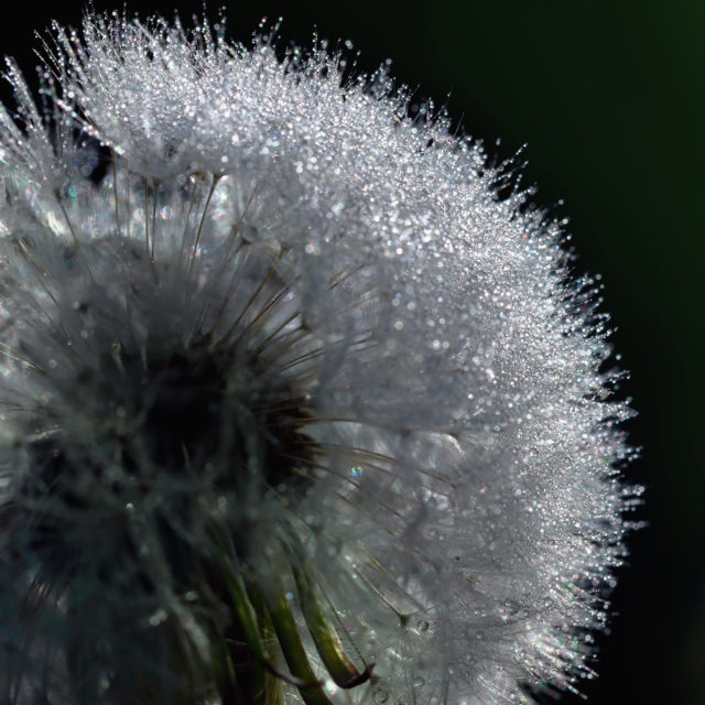 Close up of fuzzy dandelion seeds