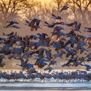 Sandhill cranes taking flight at sunrise