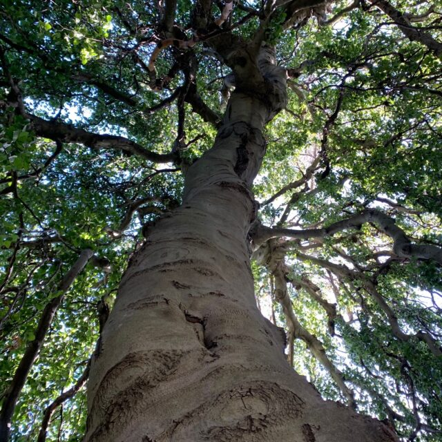 Thick trunk reaches up to the sky, sunlight filters through leaves