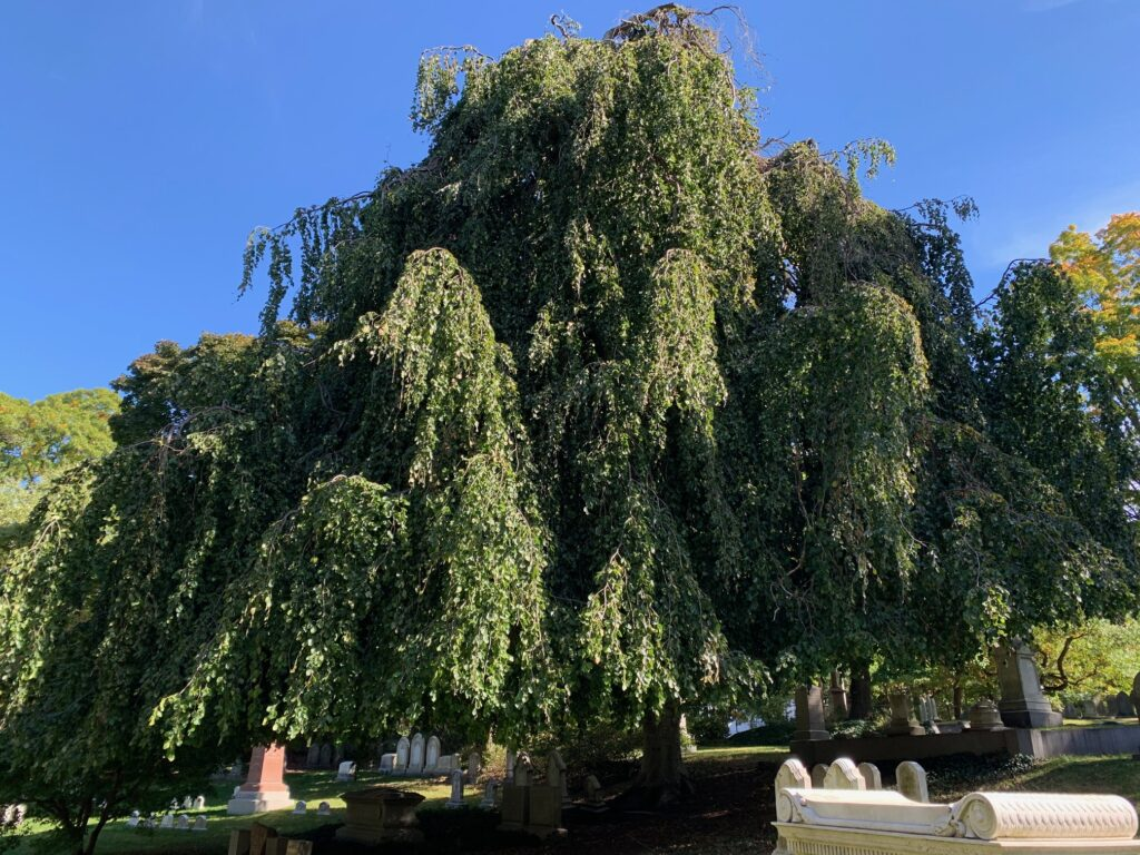 A grand weeping beech tree in the middle of Mount Auburn cemetery
