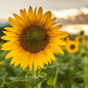 Sunflower in a field of other sunflowers