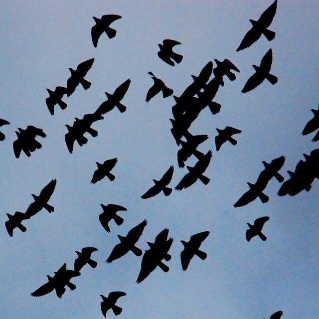 Flock of black birds flying together in a blue sky