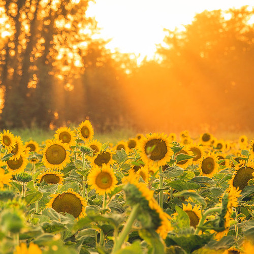 A field of sunflowers bathed in golden light