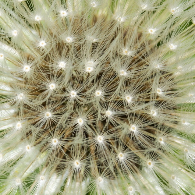 Close up picture of a dandelion